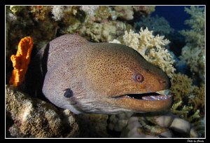 Curious moray eel... by Charly Kotnik
